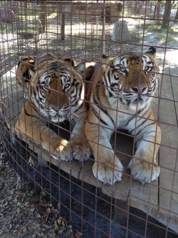 Today at Big Cat Rescue Dec 17
