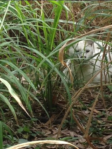 Pharaoh the white serval peeks out at keepers