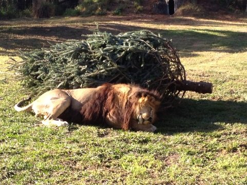 Cameron the lion loves his holiday trees more than any other cat here