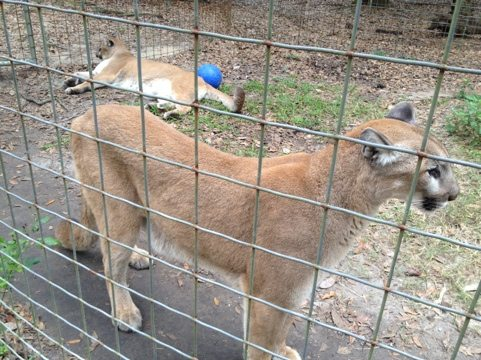 Ares and Orion the cougars wait impatiently for Christmas trees
