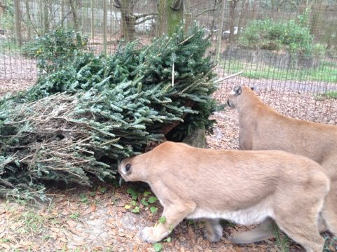 Cougar brothers looking for presents under the Christmas tree