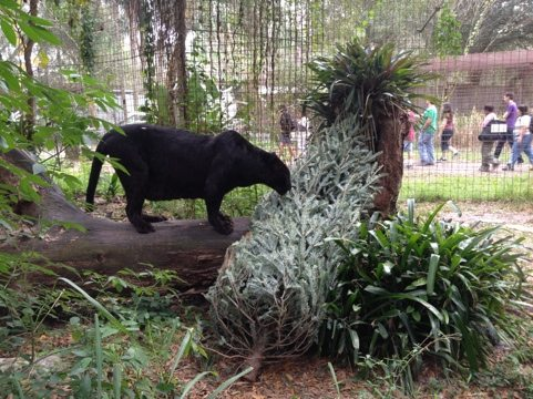 Jumanji the black leopard sniffs his Christmas tree as the 3 PM tour goes by