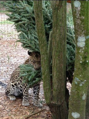 Reno the golden leopard rubs all over his tree before using it as floss