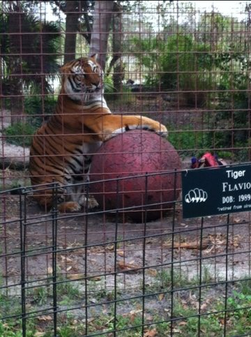 Our oldest tiger, Flavio, still knows how to have fun