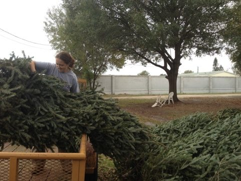 Piles of Christmas trees are everywhere. Will need lots of help to hand out.