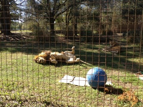 Despite all the commotion today, Joseph the Lion just couldn't care less.