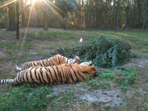 Shere Khan and China Doll snuggle by the Christmas tree in morning light
