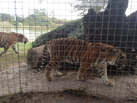 Arthur and Andre tigers sniff their Christmas trees