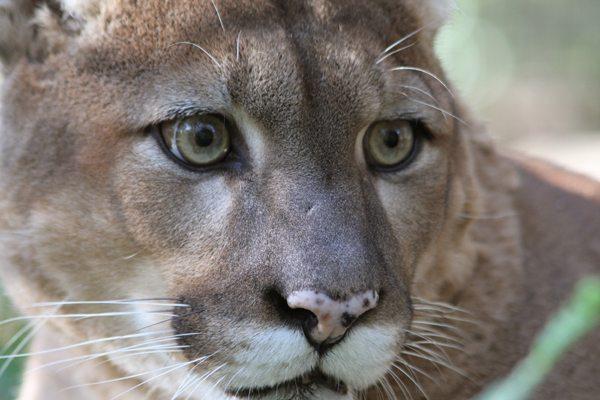 Cougar Puma or Mountain Lion Attacks Are Likely Discarded Pets