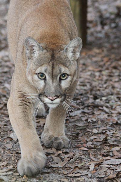 Cougar-Tobi
