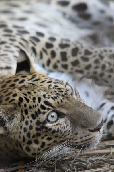 Wild Leopard Cub Reunited With Mother Leopard