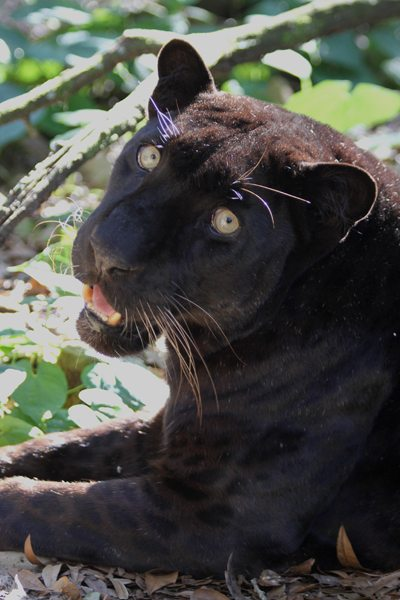 Black Leopard at Big Cat Rescue