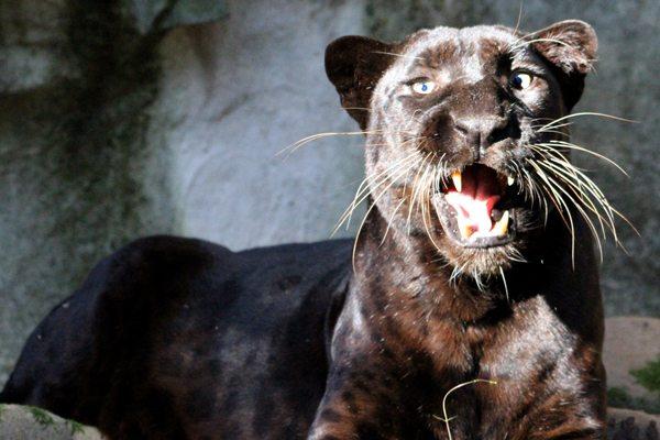 Black Panthers Big Cat Rescue