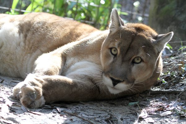 Mountain Lion Sighting Near San Mateo Shopping Center CA