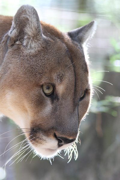 Mountain Lion Attacks Are Likely Released Pets