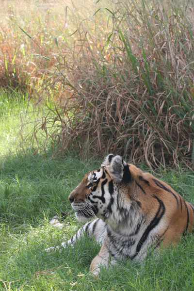 Rajasthan Youth mauled to death by a tiger