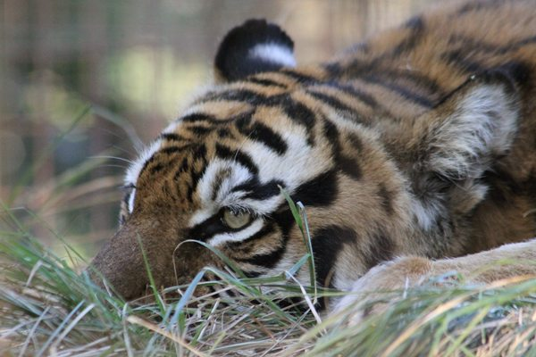 Freeing hand reared tigers into wild risky