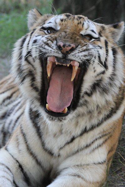 Today at Big Cat Rescue Dec 7 Tiger Photos