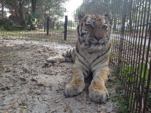 Checking on Modnic the tiger.  Her cancer is back and we don't have much time with her left.