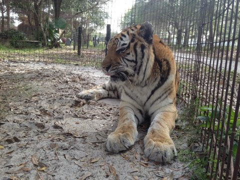 Modnic the tiger waiting for her new winter grass to grow