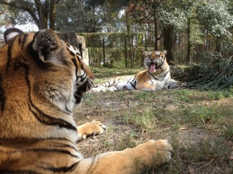 Got a caption for this funny tiger photo?  Put it in the comments.