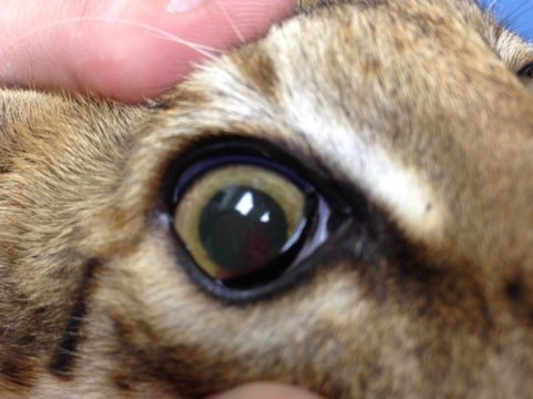 You can just barely see the blood in the dark part of the pupil.