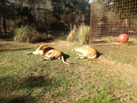The lions sunning themselves makes me want to go to the beach