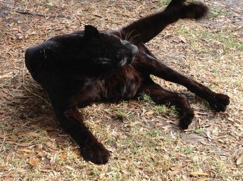 Jumanji the black leopard breakdancing