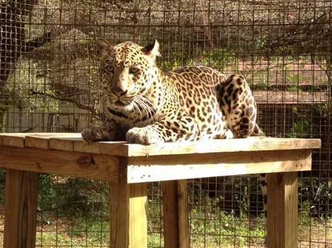 Reno the leopard got a new safety entrance to his duplex cat-a-tat