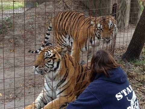 Tiger brothers vie for attention by the Operations Manager at Big Cat Rescue