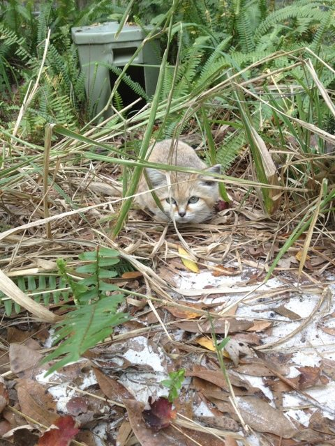 Chris gets a rare shot of Genie the Sand Cat peeking out of the grass