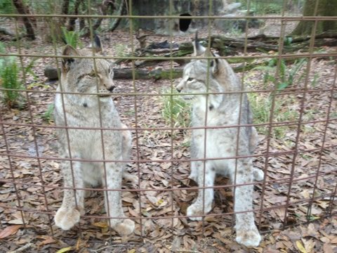 Natasha and Willow the Siberian Lynx watch all the action going on nearby