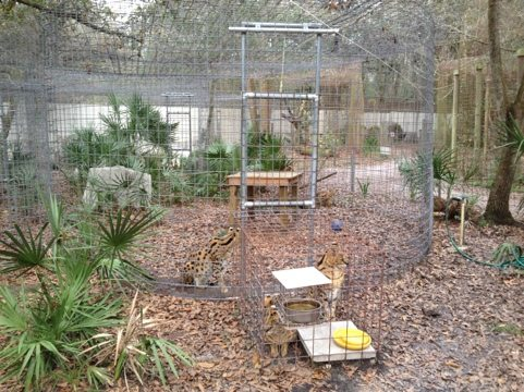 Can you see all four of the NY Servals waiting for dinner in this shot?