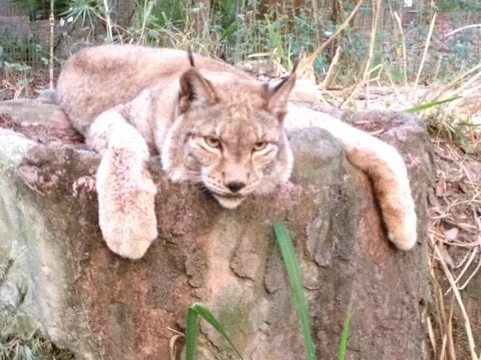 Willow the Siberian Lynx draped over the top of her cave den