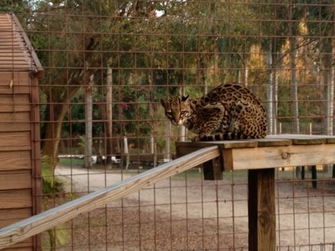 Nirvana the Ocelot on her new ramp, courtesy of Big Cat Rescuers