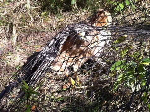 TX Tigers catch a hawk.  Jamie catches it and takes to vet.