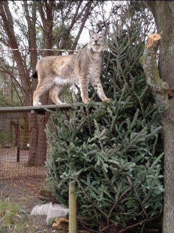 Natasha the Siberian Lynx enjoys new platforms and Christmas tree