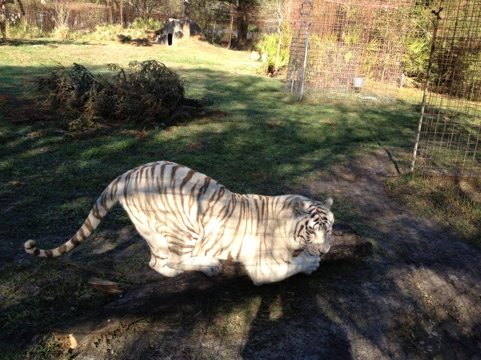 Zabu the white tiger sharpening her claws.  Cameron in background.