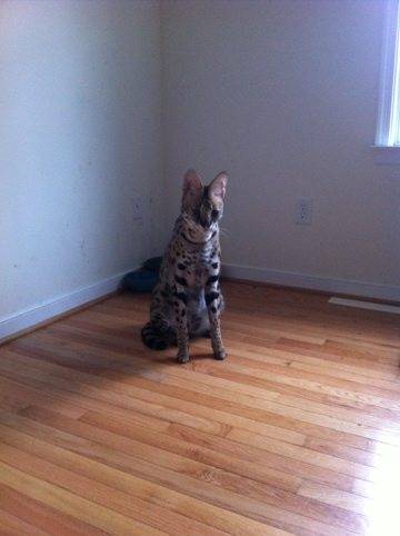 Serval that was caught in a raccoon trap in Richmond, VA
