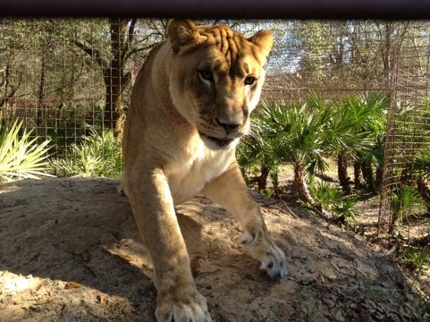 Nikita the lioness loves her new view and can't wait for room addition