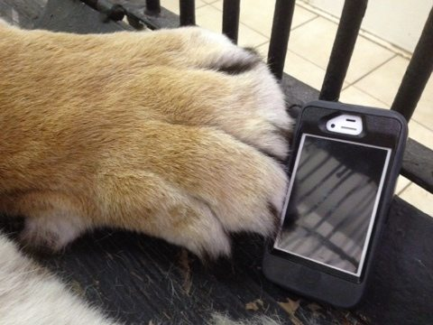 iPhone to give an idea of the size of this sedated tiger's paws