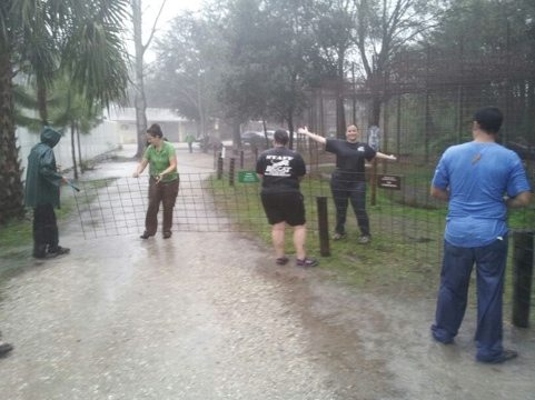 Rescuers worked in the pouring rain to transfer tigers