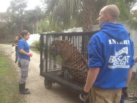 Interns helping with the transport of Shere Khan the tiger