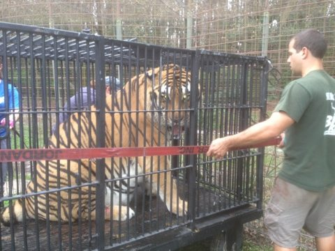 Shere Khan moving back outside with help from Big Cat Rescuers