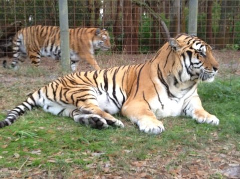 Shere Khan the tiger back outside and China Doll watching over him