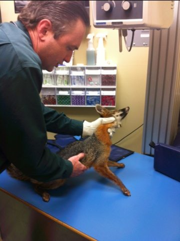 Dr Danielson examines the fox who cannot move his back legs at all
