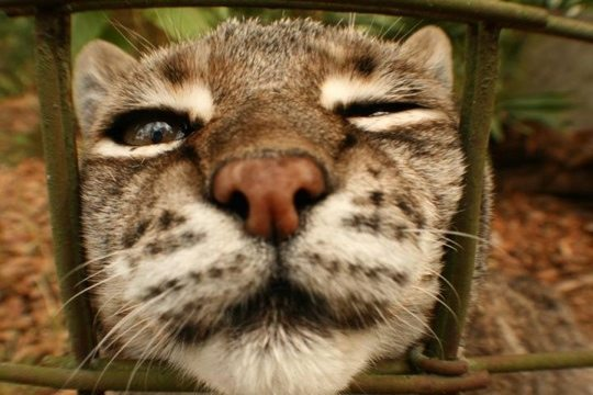 Little Feather the bobcat tries to stick her face out of the cage