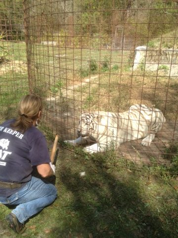 Master Keeper Barbara doing operant conditioning with Zabu tigress