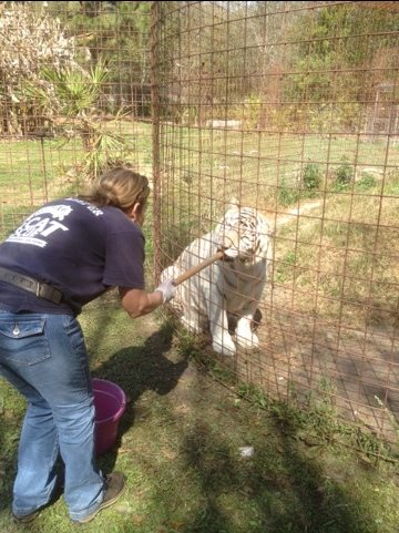 Master Keeper Barbara doing operant conditioning with white tiger