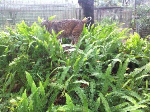 Raindance the bobcat loves the fern covered den in her new cat-a-tat
